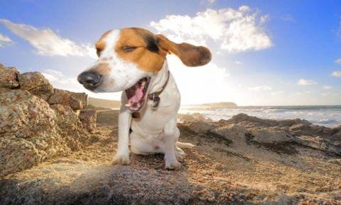 beagle3.jpg