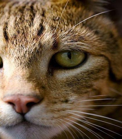 gato de bengala.jpg