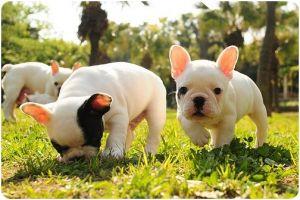 bull dog frances 2.jpg